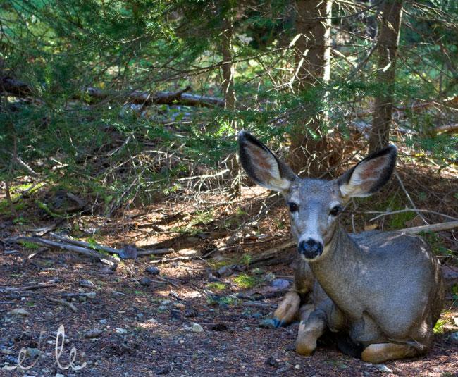 mama-deer